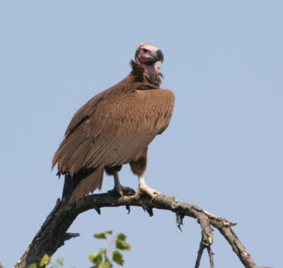 South african Lappet faced vulture