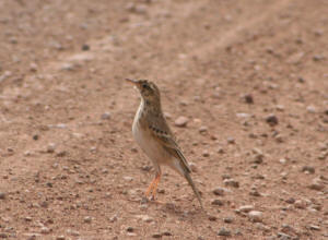 African Grassveld Pipit