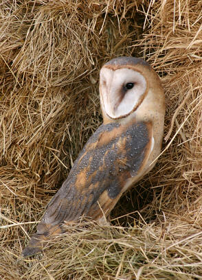The common Barn Owl