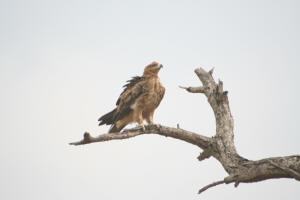 The majestic, beautiful and large Tawny Eagle