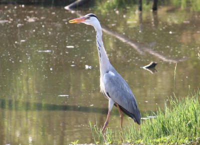South African Grey Heron